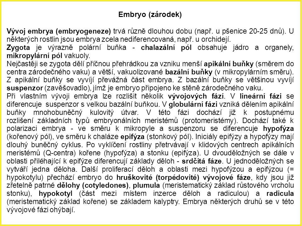 Embryo (zárodek) Vývoj embrya (embryogeneze) trvá různě dlouhou dobu (např. u pšenice 20-25 dnů). U některých rostlin jsou embrya zcela nediferencovan