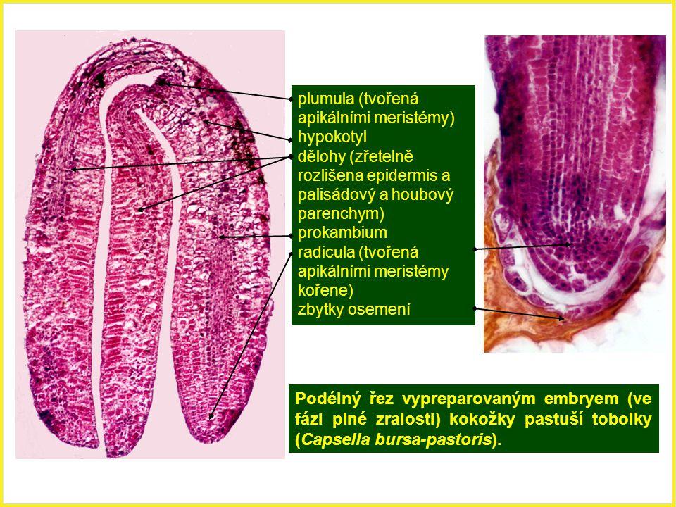 Podélný řez vypreparovaným embryem (ve fázi plné zralosti) kokožky pastuší tobolky (Capsella bursa-pastoris). plumula (tvořená apikálními meristémy) h