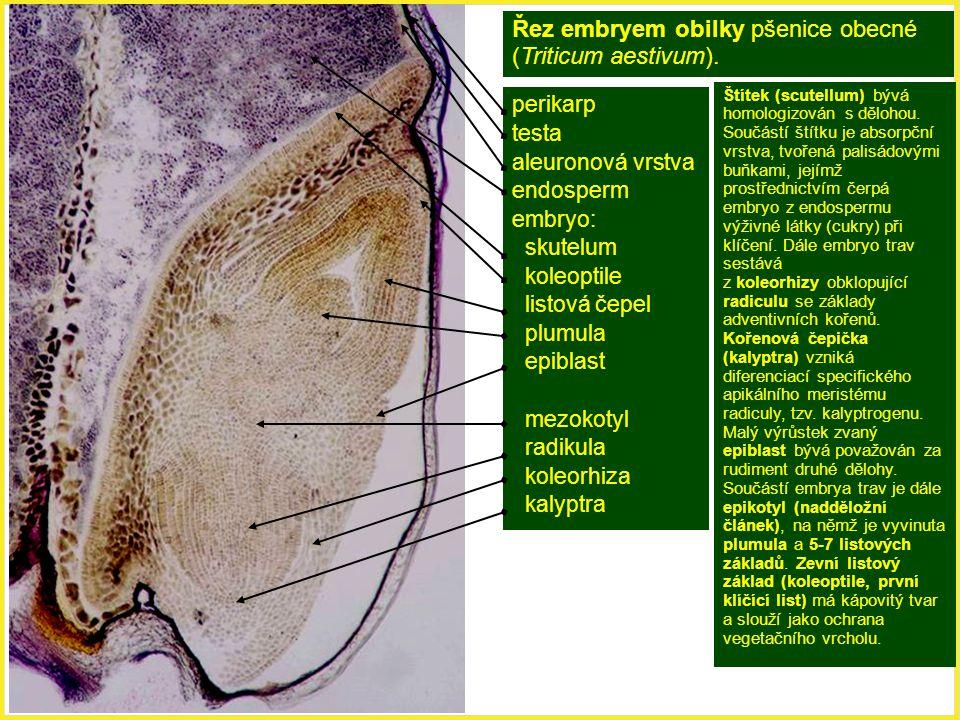 perikarp testa aleuronová vrstva endosperm embryo: skutelum koleoptile listová čepel plumula epiblast mezokotyl radikula koleorhiza kalyptra Řez embry