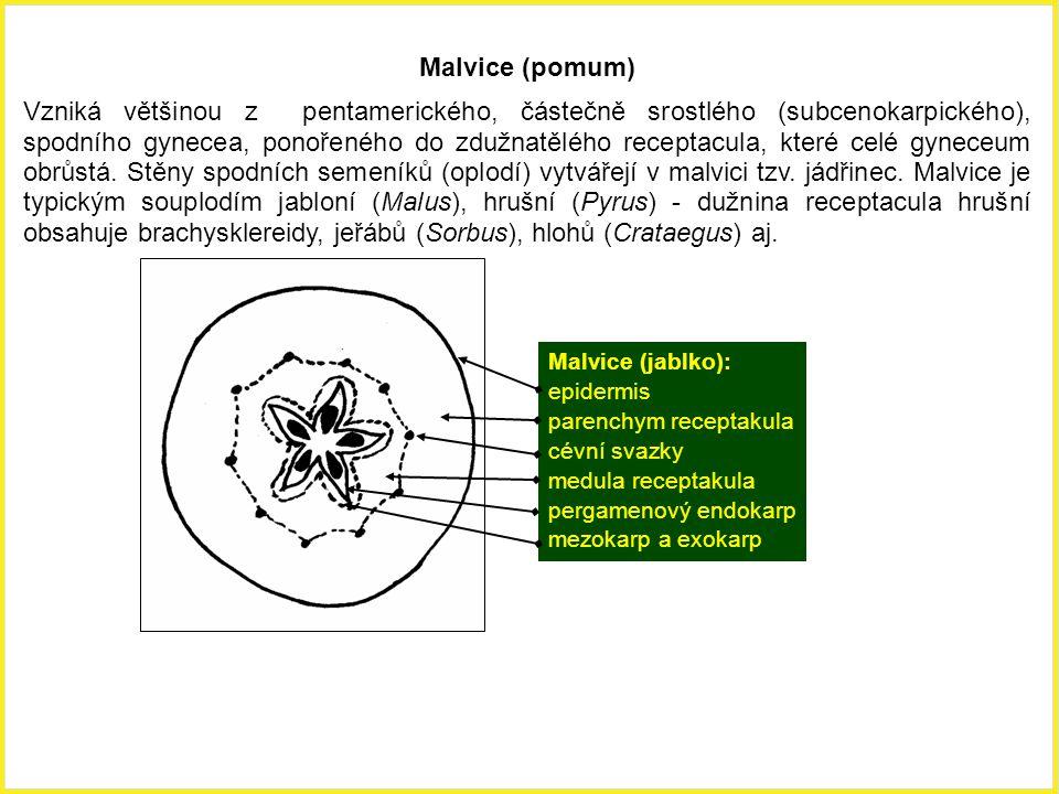 Malvice (pomum) Vzniká většinou z pentamerického, částečně srostlého (subcenokarpického), spodního gynecea, ponořeného do zdužnatělého receptacula, kt