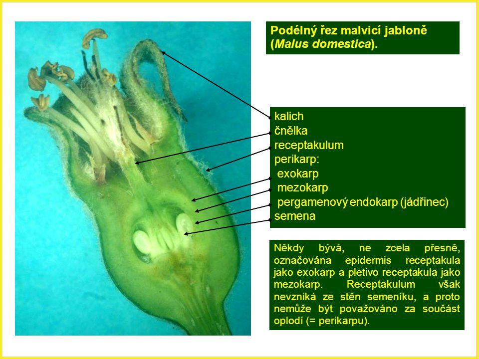 Podélný řez malvicí jabloně (Malus domestica). kalich čnělka receptakulum perikarp: exokarp mezokarp pergamenový endokarp (jádřinec) semena Někdy bývá