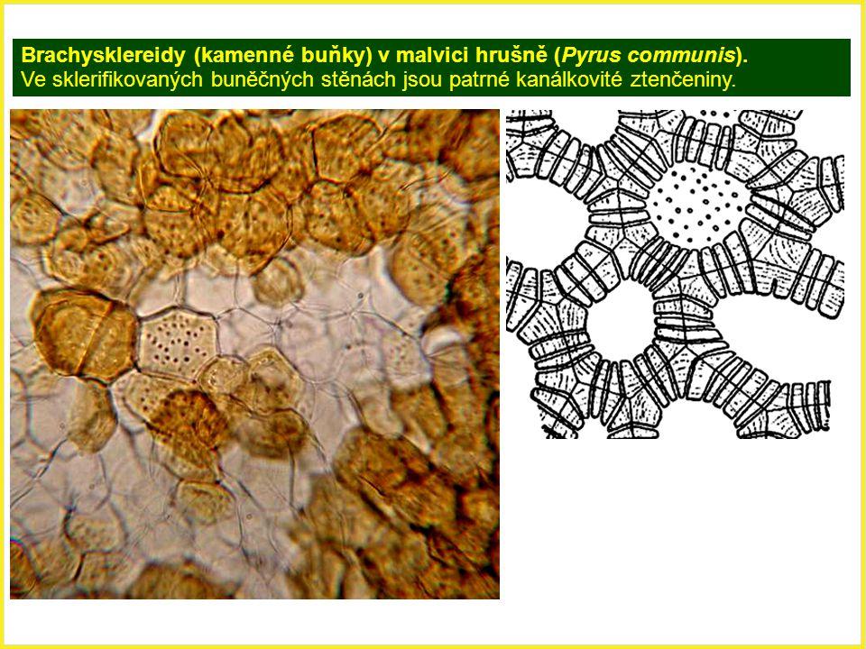 Brachysklereidy (kamenné buňky) v malvici hrušně (Pyrus communis). Ve sklerifikovaných buněčných stěnách jsou patrné kanálkovité ztenčeniny.