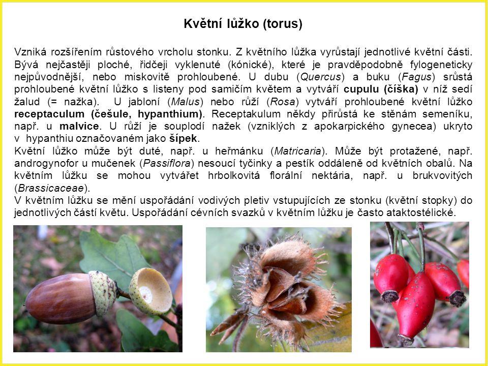 Květní lůžko (torus) Vzniká rozšířením růstového vrcholu stonku. Z květního lůžka vyrůstají jednotlivé květní části. Bývá nejčastěji ploché, řidčeji v