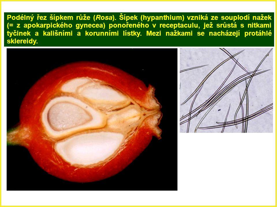 Podélný řez šípkem růže (Rosa). Šípek (hypanthium) vzniká ze souplodí nažek (= z apokarpického gynecea) ponořeného v receptaculu, jež srůstá s nitkami