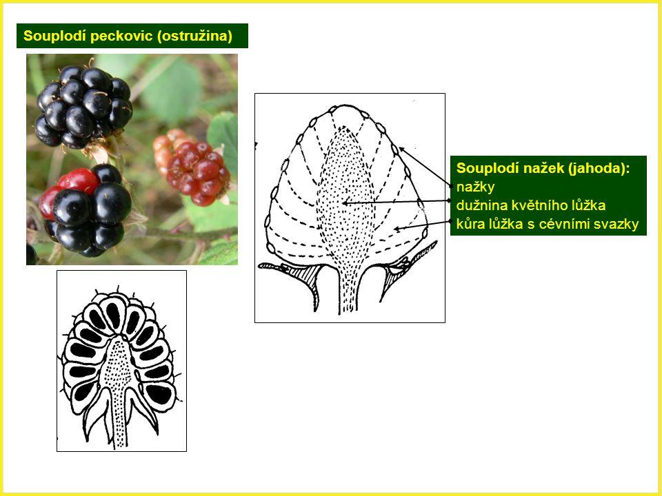 Souplodí peckovic (ostružina) Souplodí nažek (jahoda): nažky dužnina květního lůžka kůra lůžka s cévními svazky