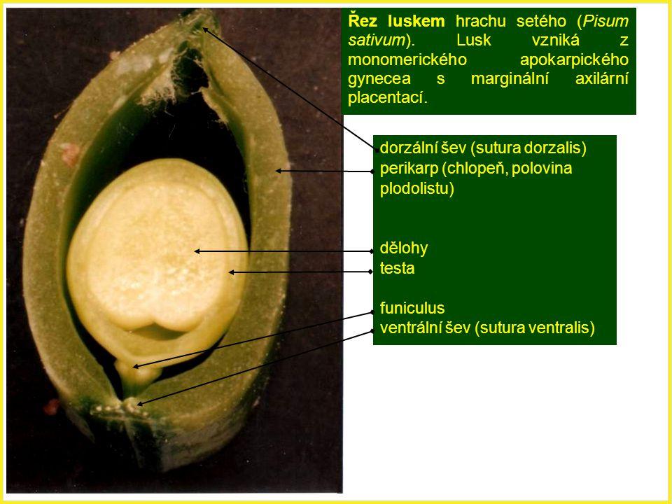 Řez luskem hrachu setého (Pisum sativum). Lusk vzniká z monomerického apokarpického gynecea s marginální axilární placentací. dorzální šev (sutura dor