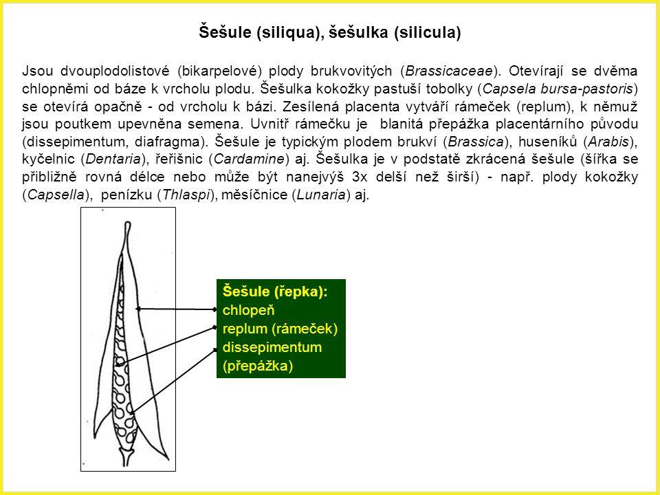 Šešule (siliqua), šešulka (silicula) Jsou dvouplodolistové (bikarpelové) plody brukvovitých (Brassicaceae). Otevírají se dvěma chlopněmi od báze k vrc