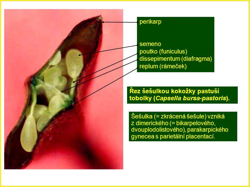 Řez šešulkou kokožky pastuší tobolky (Capsella bursa-pastoris). perikarp semeno poutko (funiculus) dissepimentum (diafragma) replum (rámeček) Šešulka