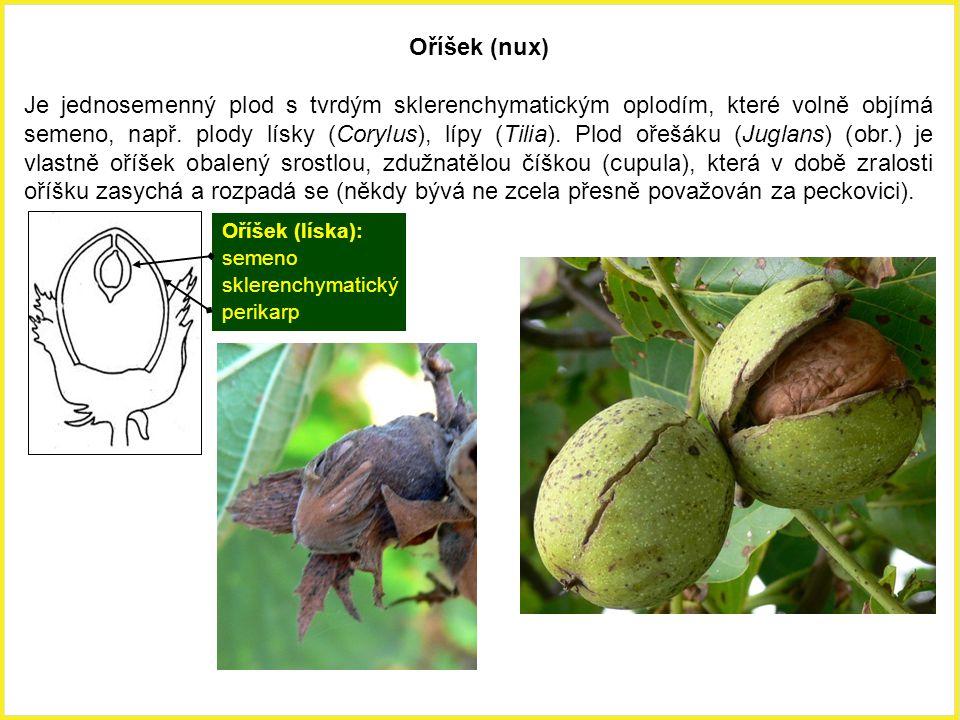 Oříšek (líska): semeno sklerenchymatický perikarp Oříšek (nux) Je jednosemenný plod s tvrdým sklerenchymatickým oplodím, které volně objímá semeno, na