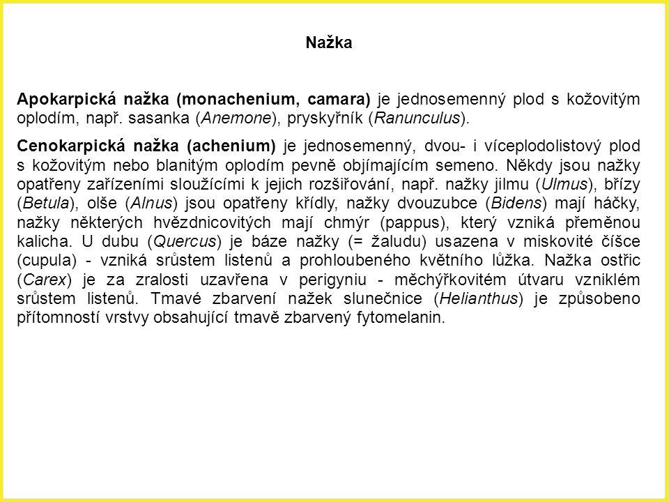 Nažka Apokarpická nažka (monachenium, camara) je jednosemenný plod s kožovitým oplodím, např. sasanka (Anemone), pryskyřník (Ranunculus). Cenokarpická
