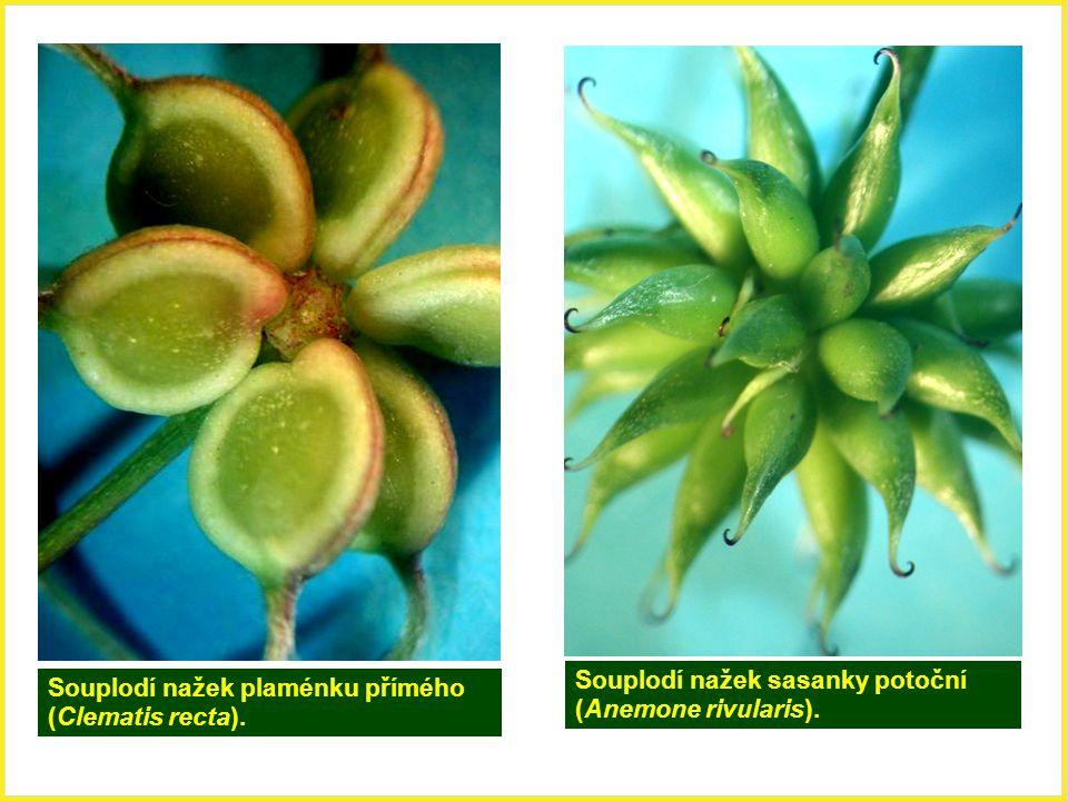 Souplodí nažek sasanky potoční (Anemone rivularis). Souplodí nažek plaménku přímého (Clematis recta).