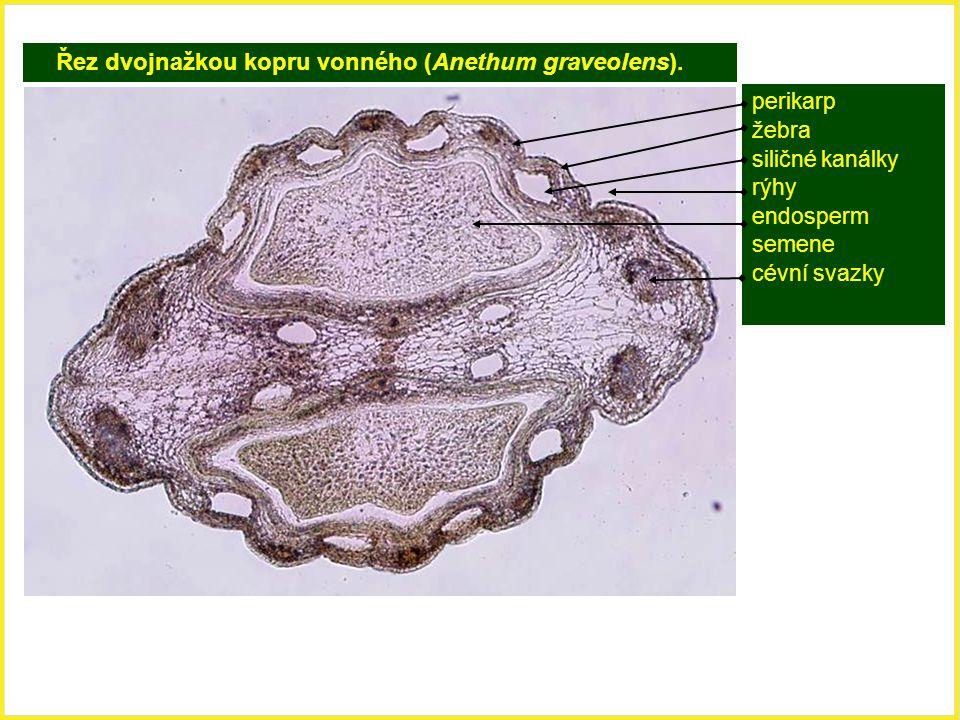 Řez dvojnažkou kopru vonného (Anethum graveolens). perikarp žebra siličné kanálky rýhy endosperm semene cévní svazky