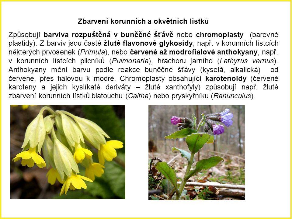 Korunní lístek kakostu lučního (Geranium pratense) s větvící se žilkou.