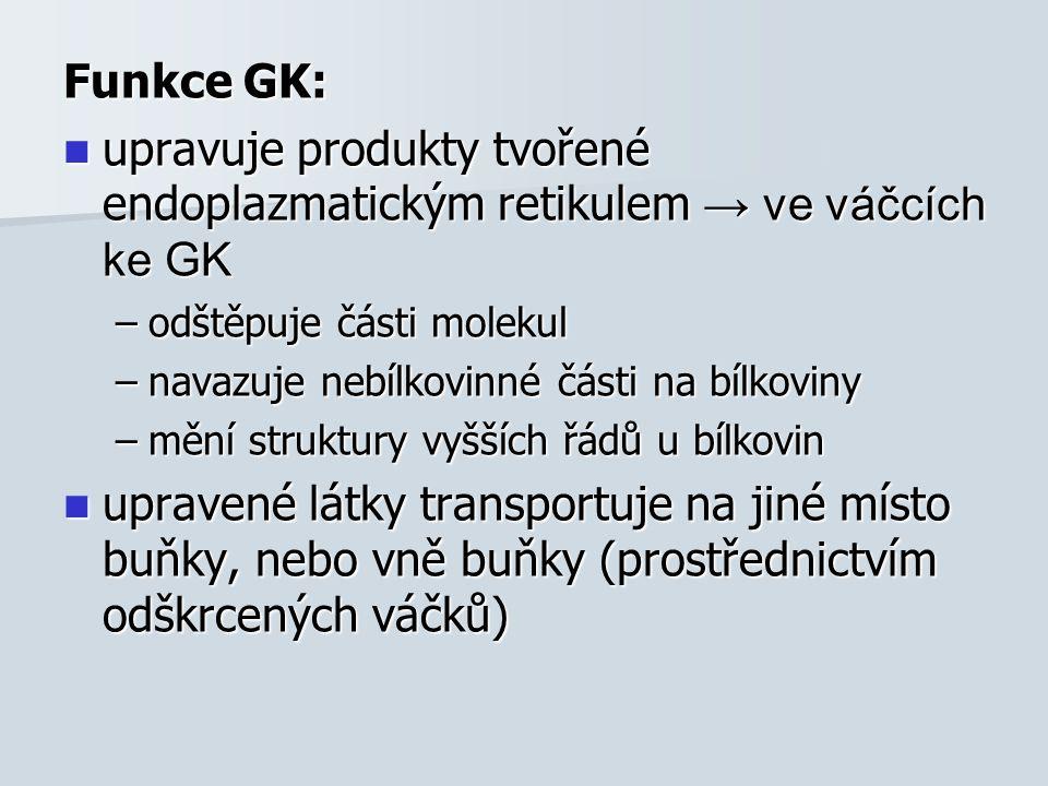 Funkce GK: upravuje produkty tvořené endoplazmatickým retikulem → ve váčcích ke GK upravuje produkty tvořené endoplazmatickým retikulem → ve váčcích ke GK –odštěpuje části molekul –navazuje nebílkovinné části na bílkoviny –mění struktury vyšších řádů u bílkovin upravené látky transportuje na jiné místo buňky, nebo vně buňky (prostřednictvím odškrcených váčků) upravené látky transportuje na jiné místo buňky, nebo vně buňky (prostřednictvím odškrcených váčků)