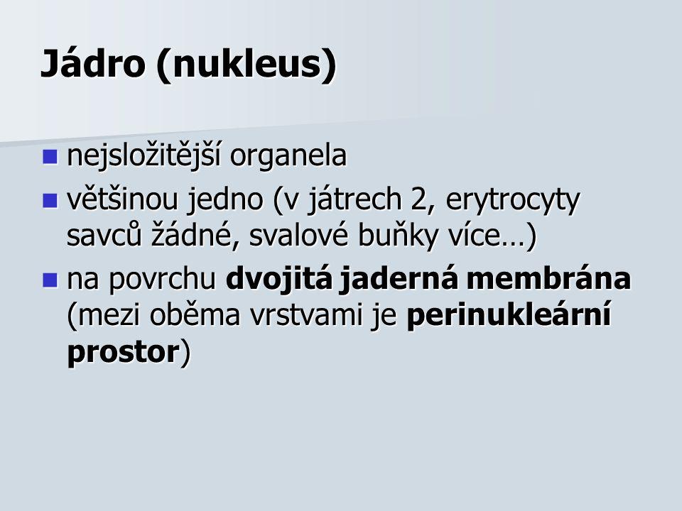Jádro (nukleus) nejsložitější organela nejsložitější organela většinou jedno (v játrech 2, erytrocyty savců žádné, svalové buňky více…) většinou jedno (v játrech 2, erytrocyty savců žádné, svalové buňky více…) na povrchu dvojitá jaderná membrána (mezi oběma vrstvami je perinukleární prostor) na povrchu dvojitá jaderná membrána (mezi oběma vrstvami je perinukleární prostor)