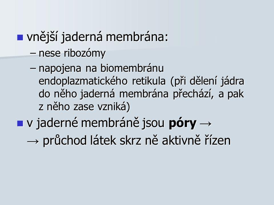 vnější jaderná membrána: vnější jaderná membrána: –nese ribozómy –napojena na biomembránu endoplazmatického retikula (při dělení jádra do něho jaderná membrána přechází, a pak z něho zase vzniká) v jaderné membráně jsou póry → v jaderné membráně jsou póry → → průchod látek skrz ně aktivně řízen