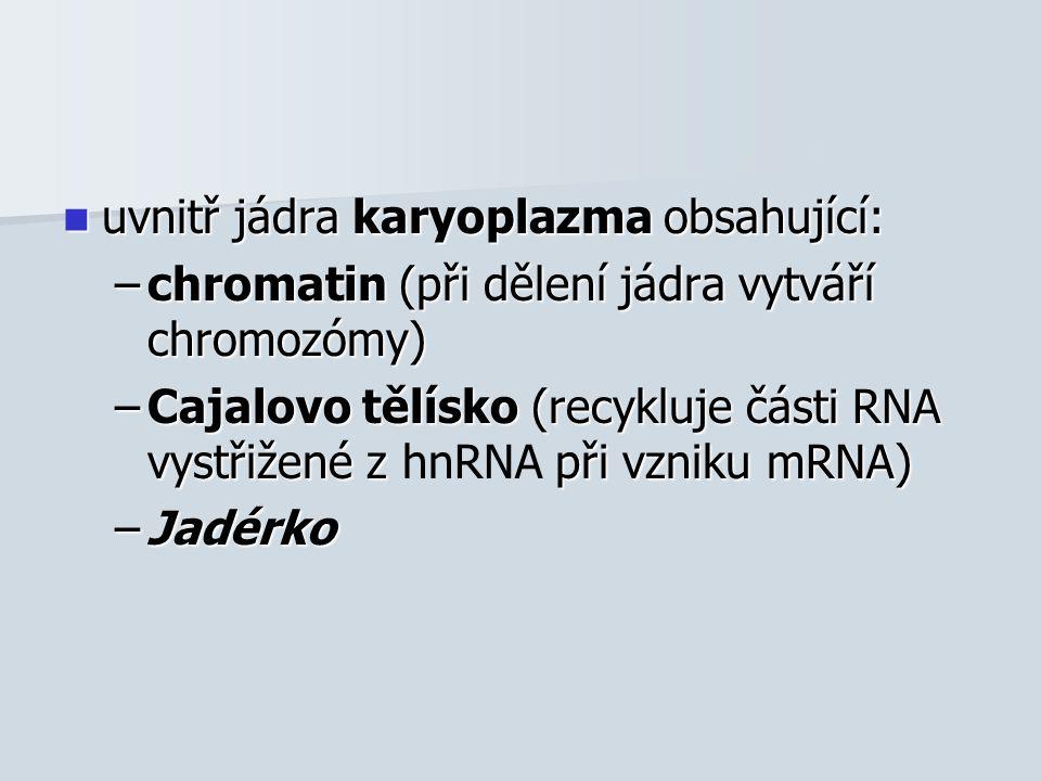 uvnitř jádra karyoplazma obsahující: uvnitř jádra karyoplazma obsahující: –chromatin (při dělení jádra vytváří chromozómy) –Cajalovo tělísko (recykluje části RNA vystřižené z při vzniku mRNA) –Cajalovo tělísko (recykluje části RNA vystřižené z hnRNA při vzniku mRNA) –Jadérko