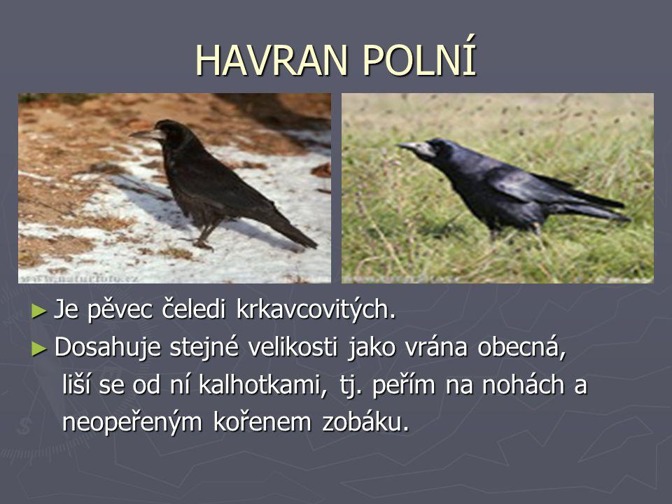 HAVRAN POLNÍ ► Je pěvec čeledi krkavcovitých. ► Dosahuje stejné velikosti jako vrána obecná, liší se od ní kalhotkami, tj. peřím na nohách a neopeřený