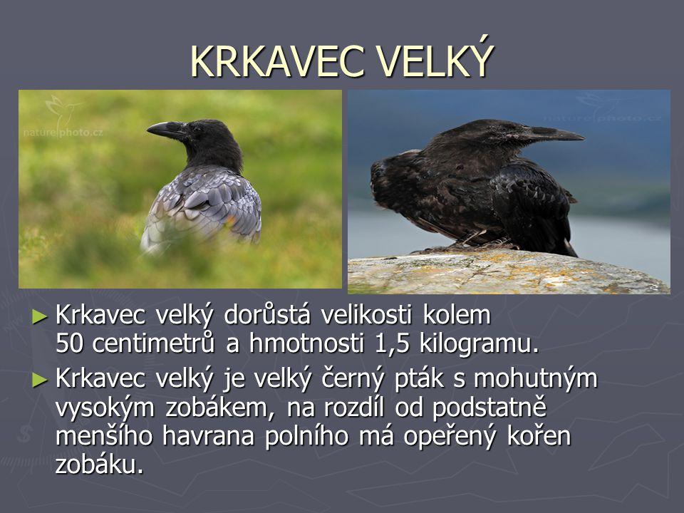 KRKAVEC VELKÝ ► Krkavec velký dorůstá velikosti kolem 50 centimetrů a hmotnosti 1,5 kilogramu. ► Krkavec velký je velký černý pták s mohutným vysokým