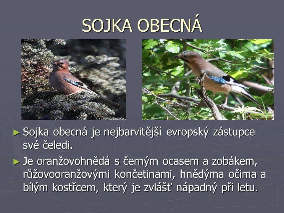 SOJKA OBECNÁ ► Sojka obecná je nejbarvitější evropský zástupce své čeledi. ► Je oranžovohnědá s černým ocasem a zobákem, růžovooranžovými končetinami,