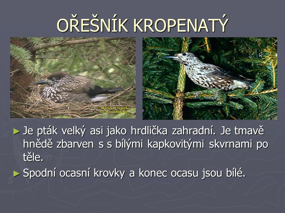 OŘEŠNÍK KROPENATÝ ► Je pták velký asi jako hrdlička zahradní. Je tmavě hnědě zbarven s s bílými kapkovitými skvrnami po těle. ► Spodní ocasní krovky a