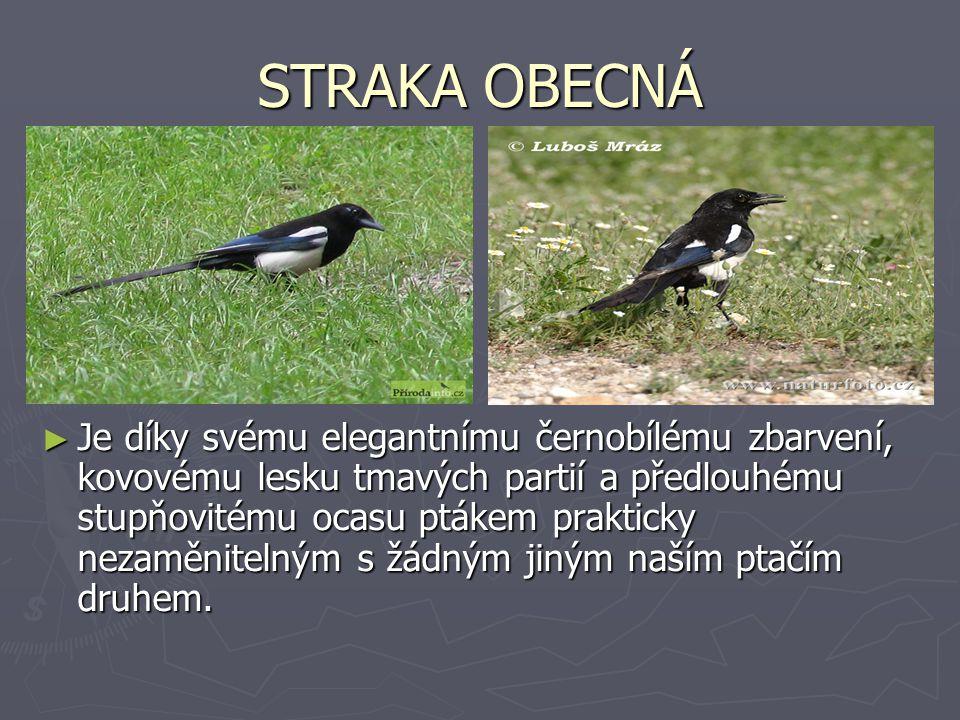 STRAKA OBECNÁ ► Je díky svému elegantnímu černobílému zbarvení, kovovému lesku tmavých partií a předlouhému stupňovitému ocasu ptákem prakticky nezamě