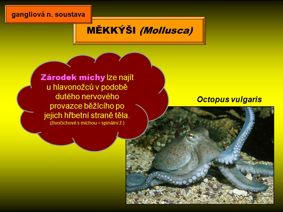 Octopus vulgaris Zárodek míchy lze najít u hlavonožců v podobě dutého nervového provazce běžícího po jejich hřbetní straně těla. (živočichové s míchou