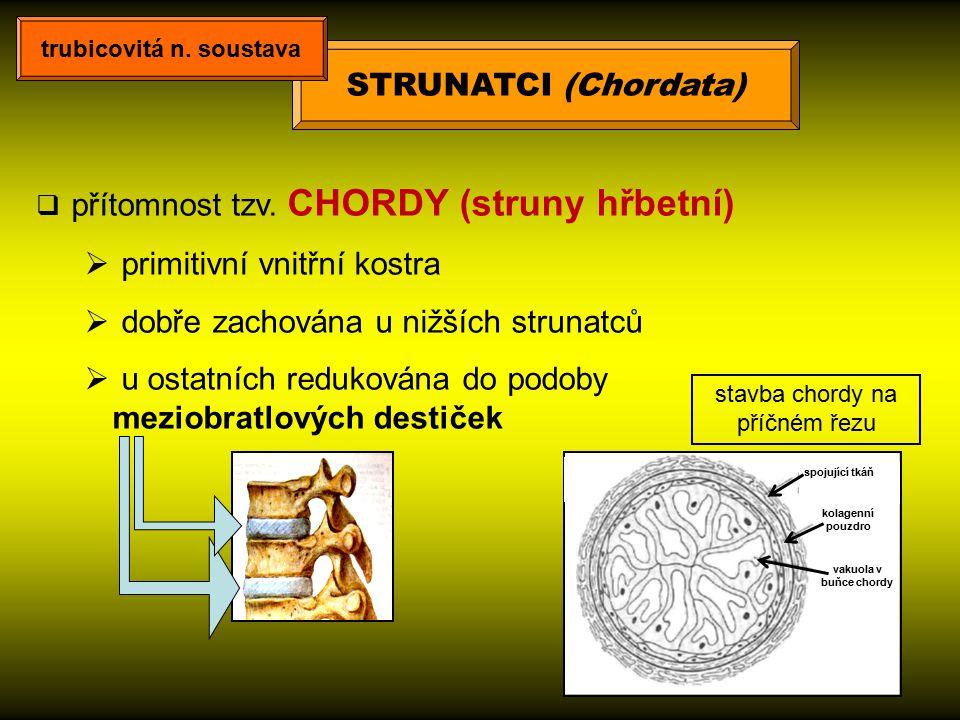  přítomnost tzv. CHORDY (struny hřbetní)  primitivní vnitřní kostra  dobře zachována u nižších strunatců  u ostatních redukována do podoby meziobr