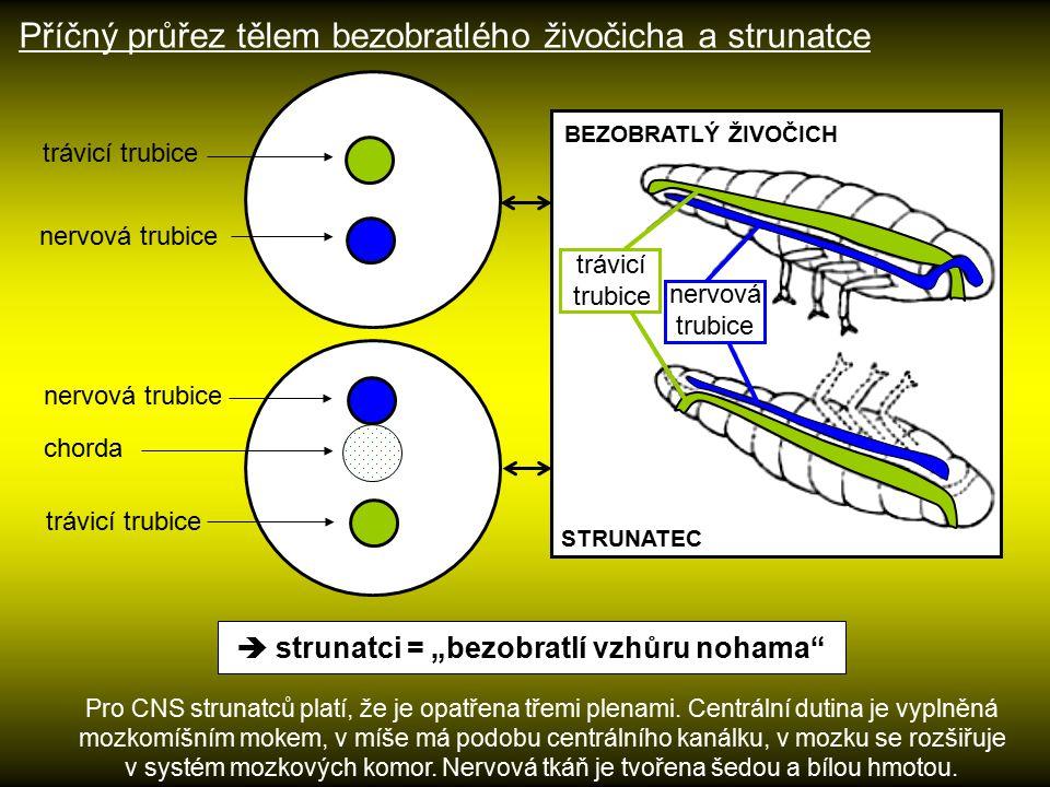 """trávicí trubice nervová trubice chorda  strunatci = """"bezobratlí vzhůru nohama"""" Pro CNS strunatců platí, že je opatřena třemi plenami. Centrální dutin"""