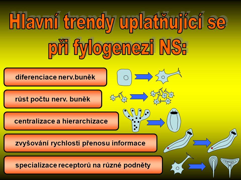 růst počtu nerv. buněk diferenciace nerv.buněk centralizace a hierarchizace zvyšování rychlosti přenosu informace specializace receptorů na různé podn