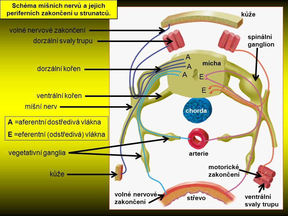 Schéma míšních nervů a jejich periferních zakončení u strunatců. volné nervové zakončení kůže střevo motorické zakončení vegetativní ganglia arterie v