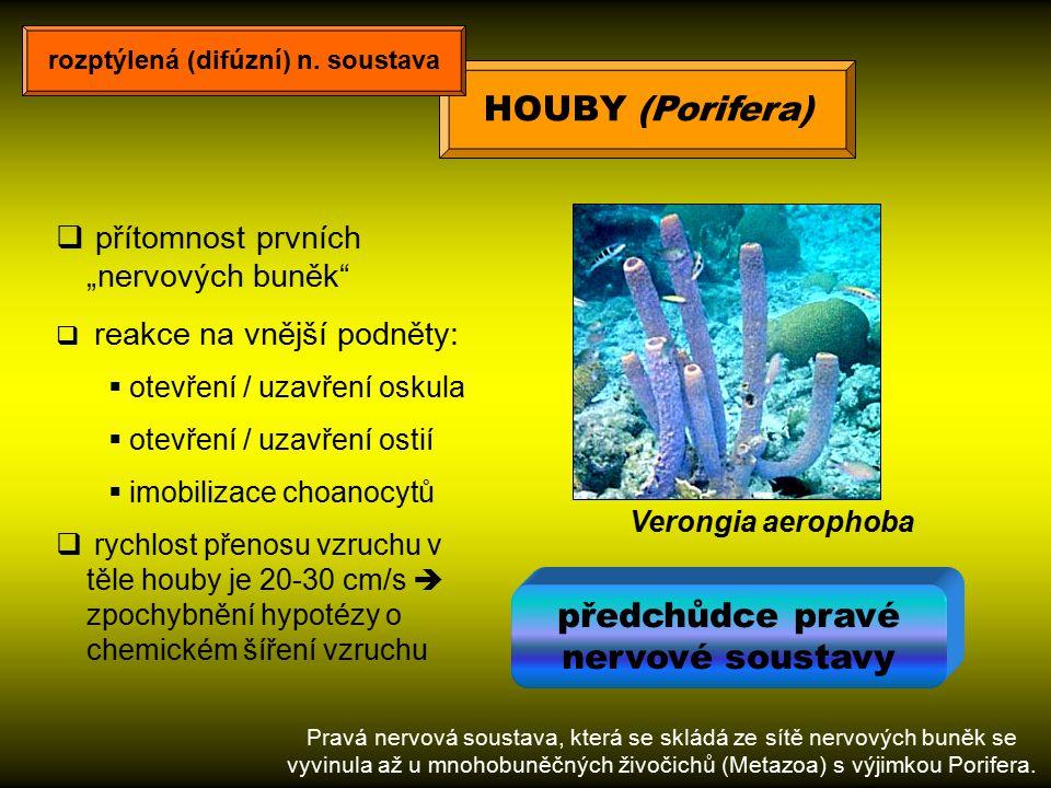 """HOUBY (Porifera) Verongia aerophoba  přítomnost prvních """"nervových buněk""""  reakce na vnější podněty:  otevření / uzavření oskula  otevření / uzavř"""