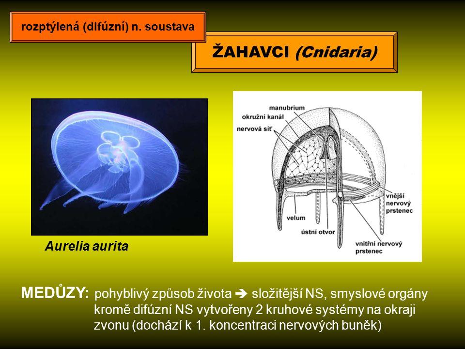 MEDŮZY: pohyblivý způsob života  složitější NS, smyslové orgány kromě difúzní NS vytvořeny 2 kruhové systémy na okraji zvonu (dochází k 1. koncentrac