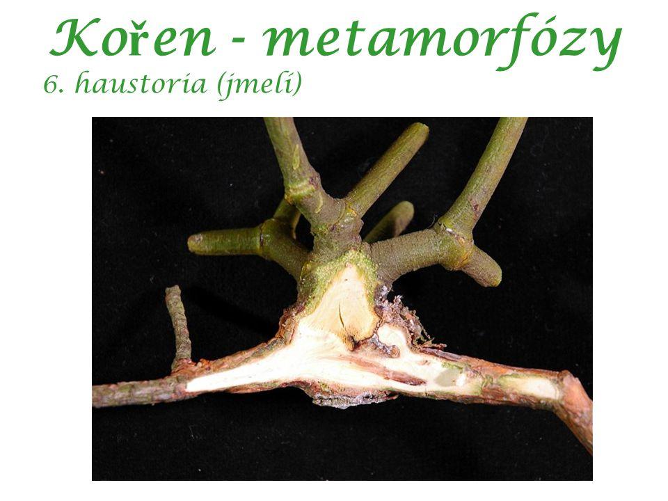 Ko ř en - metamorfózy 6. haustoria (jmelí)