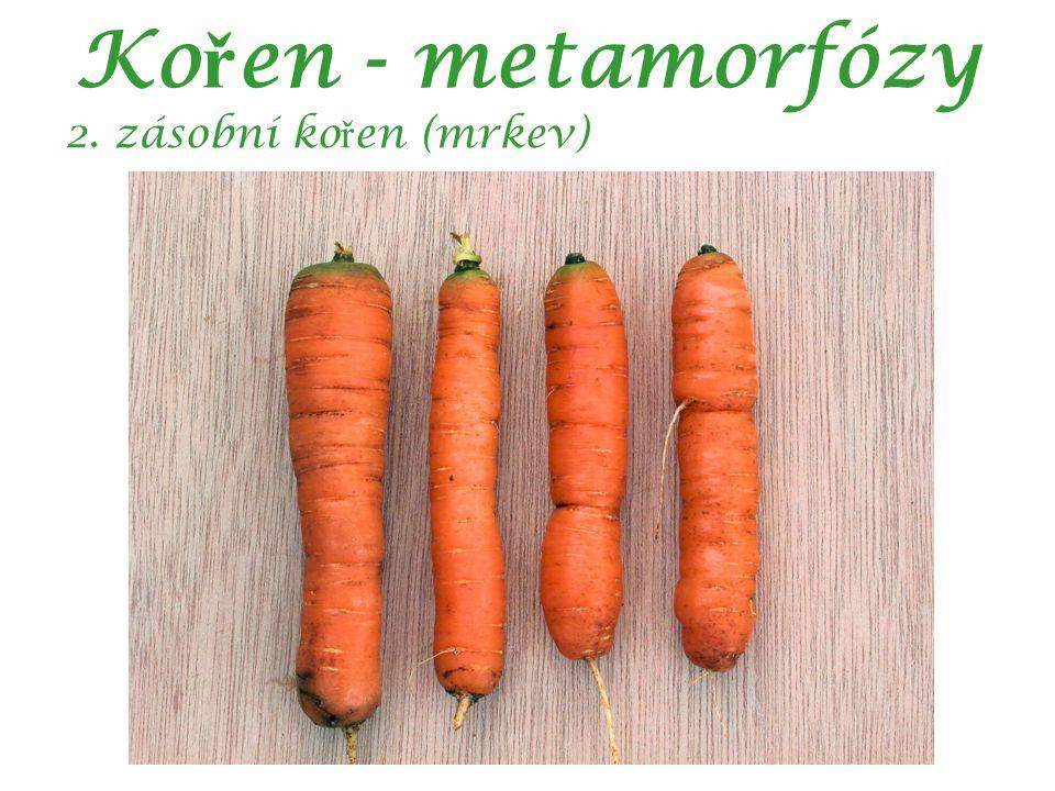 Ko ř en - metamorfózy 2. zásobní ko ř en (mrkev)