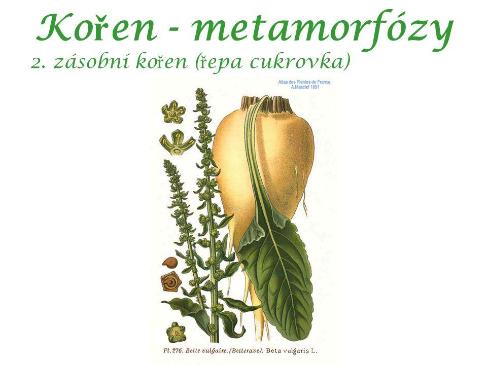 Ko ř en - metamorfózy 2. zásobní ko ř en ( ř epa cukrovka)