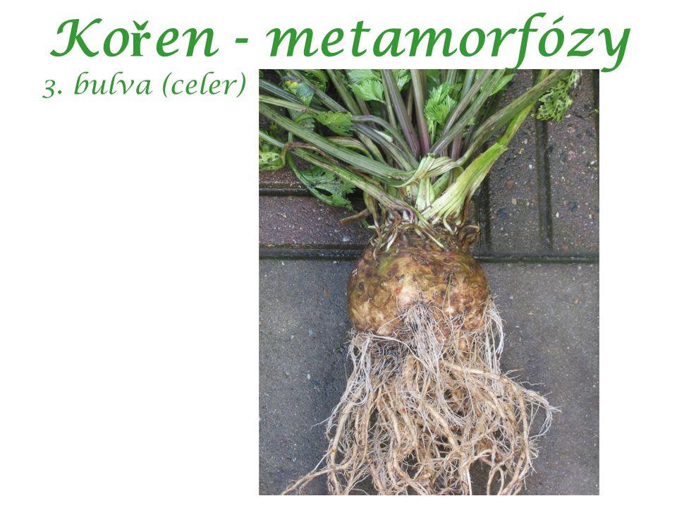 Ko ř en - metamorfózy 3. bulva (celer)