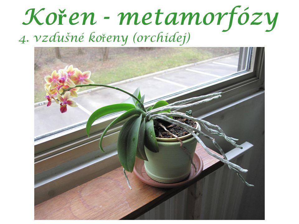 Ko ř en - metamorfózy 4. vzdušné ko ř eny (orchidej)