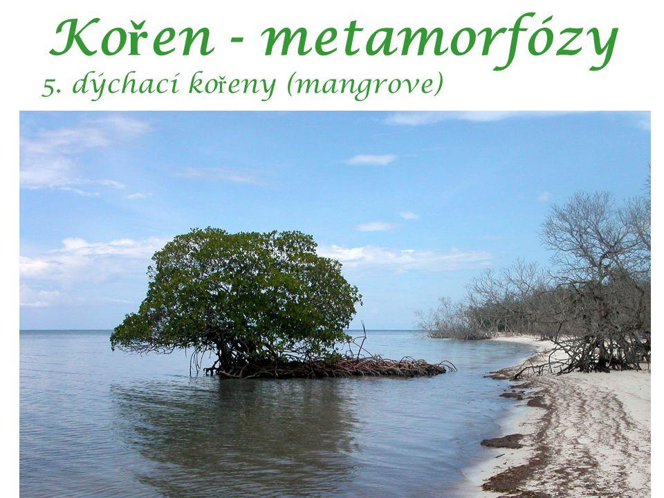 Ko ř en - metamorfózy 5. dýchací ko ř eny (mangrove)