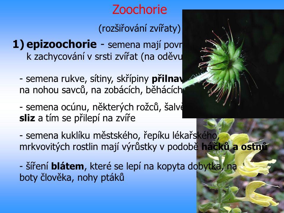 Zoochorie (rozšiřování zvířaty) 1)epizoochorie - semena mají povrch uzpůsobený k zachycování v srsti zvířat (na oděvu člověka) - semena rukve, sítiny,