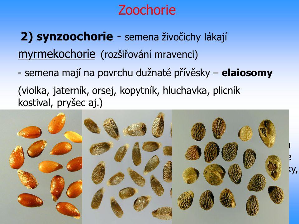 Zoochorie 2) synzoochorie - semena živočichy lákají myrmekochorie (rozšiřování mravenci) - semena mají na povrchu dužnaté přívěsky – elaiosomy (violka