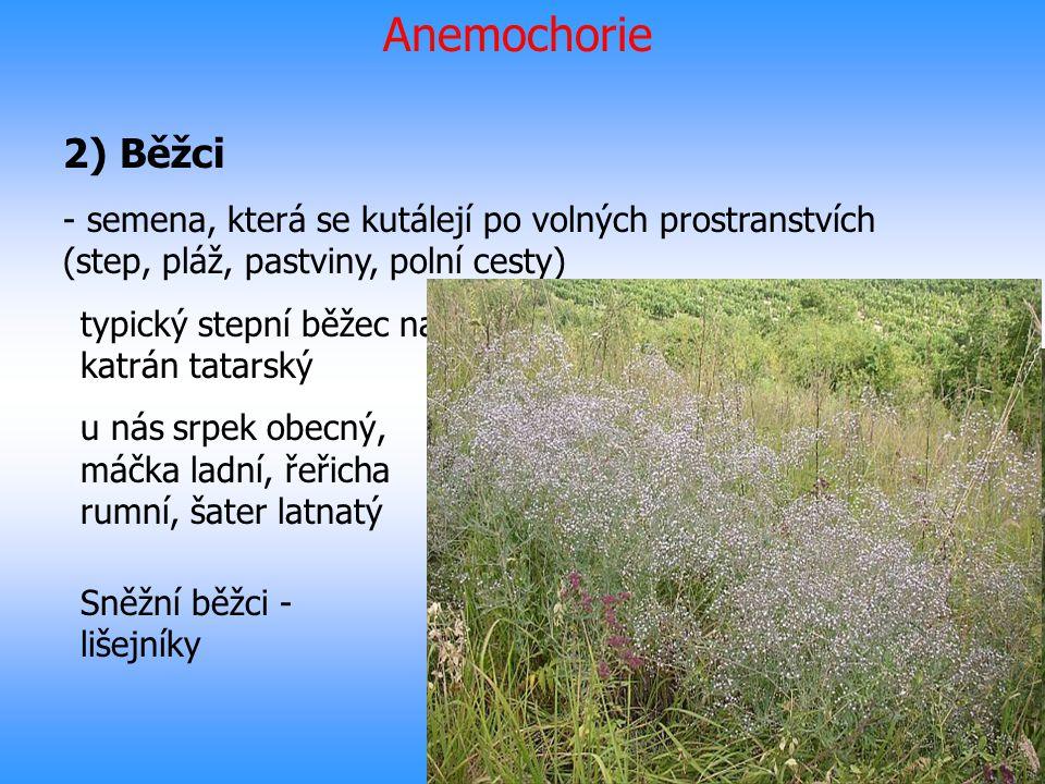 Anemochorie 2) Běžci - semena, která se kutálejí po volných prostranstvích (step, pláž, pastviny, polní cesty) typický stepní běžec na jižní Moravě ka