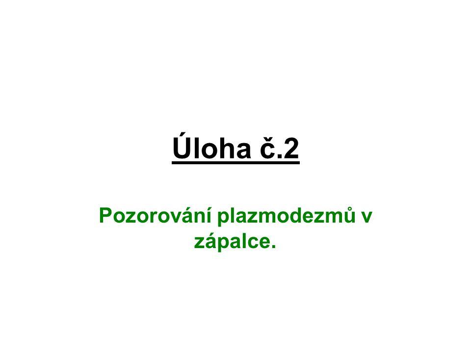 Úloha č.2 Pozorování plazmodezmů v zápalce.