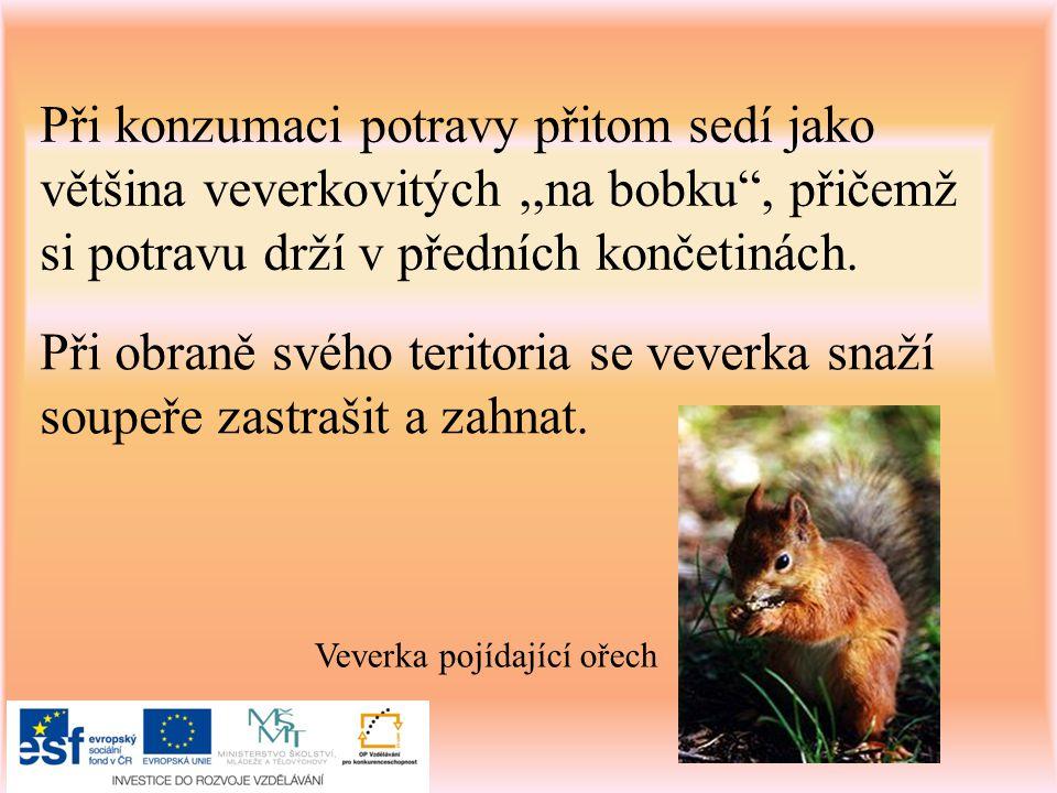 Nepřátelé veverky kuna lesní kočka divoká liška obecná