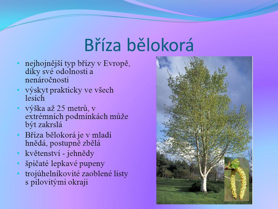 Bříza bělokorá nejhojnější typ břízy v Evropě, díky své odolnosti a nenáročnosti výskyt prakticky ve všech lesích výška až 25 metrů, v extrémních podmínkách může být zakrslá Bříza bělokorá je v mladí hnědá, postupně zbělá květenství - jehnědy špičaté lepkavé pupeny trojúhelníkovité zaoblené listy s pilovitými okraji.