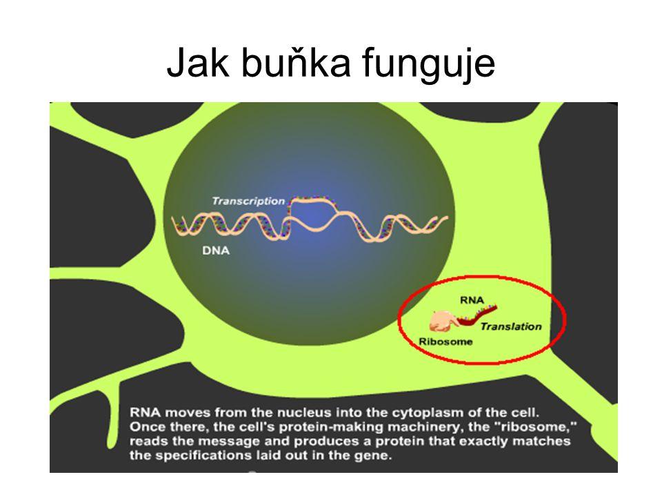 Jak buňka funguje