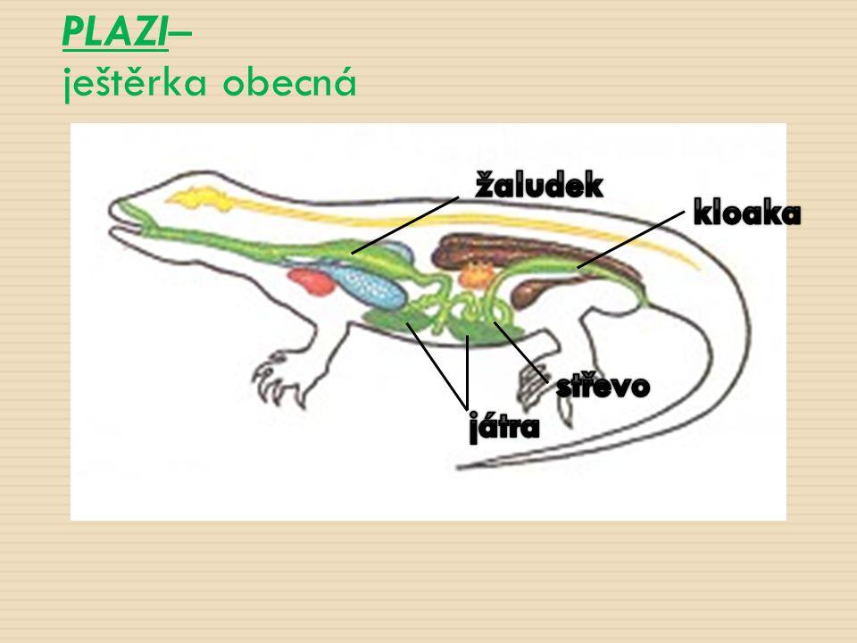 PLAZI– ještěrka obecná