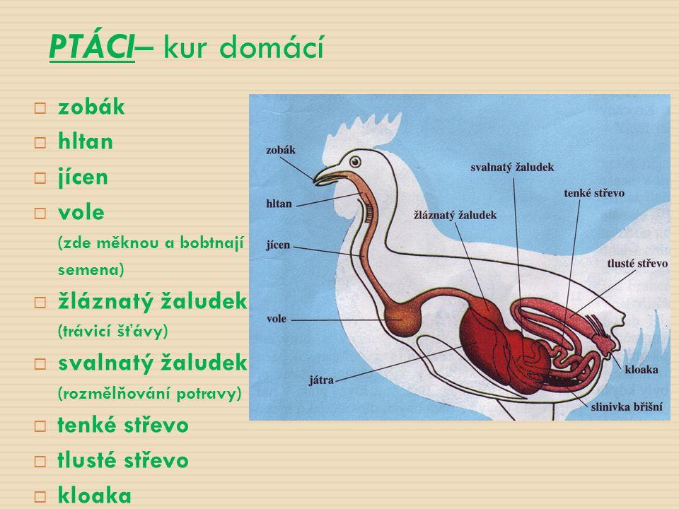  zobák  hltan  jícen  vole (zde měknou a bobtnají semena)  žláznatý žaludek (trávicí šťávy)  svalnatý žaludek (rozmělňování potravy)  tenké stř