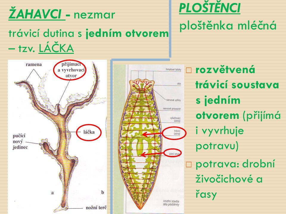 ŽAHAVCI - nezmar trávicí dutina s jedním otvorem – tzv. LÁČKA PLOŠTĚNCI ploštěnka mléčná  rozvětvená trávicí soustava s jedním otvorem (přijímá i vyv