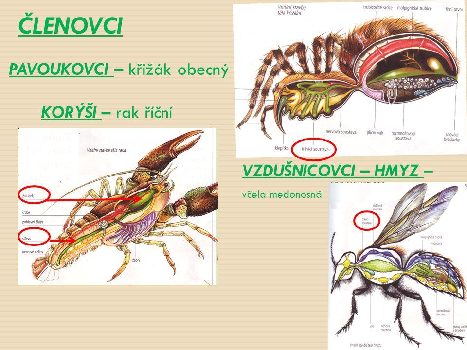 ČLENOVCI KORÝŠI – rak říční VZDUŠNICOVCI – HMYZ – včela medonosná PAVOUKOVCI – křižák obecný